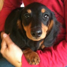 Dachshund. This is what my dachshund Honey looked like. <3