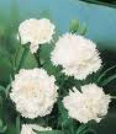 [Homepage] Carnation 'Snow White'