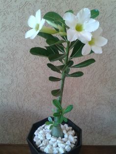 White Desert Rose