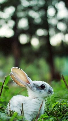 Little Rabbit Grassland Woods Bokeh #iPhone #5s #wallpaper