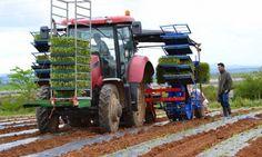 Agricultura: Tomate biológico com recurso a «mulch biodegradável Agrobiofilm» plantado em Elvas
