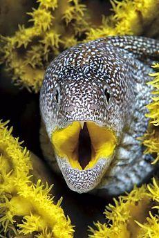 An underwater photo of a yellow-mouth moray eel. Credit: An underwater photo of a yellow-mouth moray eel. Underwater Creatures, Underwater Life, Underwater Animals, Life Under The Sea, Beneath The Sea, Ocean Photos, Life Aquatic, Tier Fotos, Mundo Animal