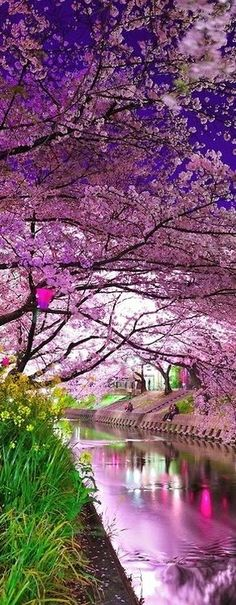 Cherry Blossoms Festival in Japan