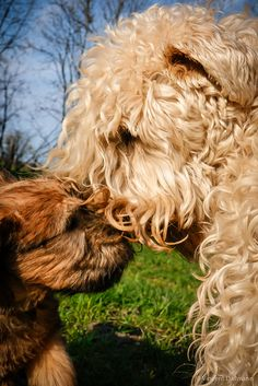 Wheaten Terrier Puppies - 6 weeks old by Vincent Dallmann, via Flickr