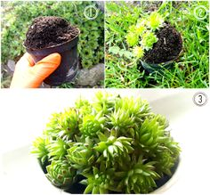 rojniki, sukulenty diy / succulents diy