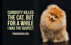 Marvelous Pomeranian Does Your Dog Measure Up and Does It Matter Characteristics. All About Pomeranian Does Your Dog Measure Up and Does It Matter Characteristics. Puppy Husky, Pomeranian Puppy, Pomeranian Memes, Small Pomeranian, Teacup Pomeranian, Teacup Puppies, Corgi Puppies, Curiosity Killed The Cat, Save A Dog
