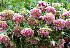 """Beautiful Helleborus 'Peppermint Ice' """"Lenten Rose"""" Reliable & long-lived shade lovers, tolerates poor soil, clay, drought and marauding deer. 'Peppermint Ice' was created thru hand pollination by Marietta O'Byrne of Eugene, Oregon."""