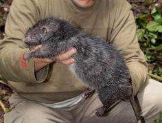 Indonesian Giant Rat. Blerggh