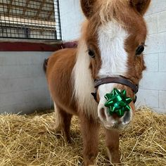 "Tate Adam on Instagram: ""Merry Christmas from Kentucky Chrome @taylor_made_farm official mascot 🤗 🎄❣️"" #pony All The Pretty Horses, Beautiful Horses, Animals Beautiful, Cute Animals, Cute Baby Horses, Funny Horses, Horse Photos, Horse Pictures, Shetland Ponies"