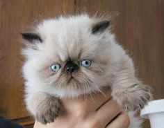 A Harry Friend : Seal Point Himalayan Cute Cats And Dogs, Cute Cats And Kittens, Cool Pets, Kittens Cutest, Himalayan Persian Cats, Himalayan Kitten, Pretty Cats, Beautiful Cats, Baby Animals