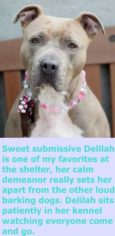IStaten Island Center DELILAH – A1063925 FEMALE, BROWN, PIT BULL MIX, 1 yr STRAY – ONHOLDHERE, HOLD FOR DOH-V Reason STRAY Intake condition UNSPECIFIE Intake Date 01/29/2016 http://nycdogs.urgentpodr.org/delilah-a1063925/