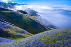 """2014 National Geographic Photo Contest, Week 2 - """"Above Big Sur"""". I'd gone to Big Sur to watch the gray whale migration from the cliffs, but it was too foggy to even see the water. I decided to hike up the Baronda Trail to see if I could get above the fog. This view was my reward. Miles of lupine and blue skies. Outstanding! Photo location: Big Sur, California. (Photo and caption by Douglas Croft/National Geographic Photo Contest)"""