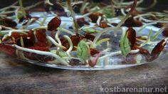 Keimlinge aus der Natur sind reich an Vitalstoffen. Die Sprossen des Ahorns sind zahlreich und können schon im Februar verzehrt werden. Hier zwei Anregungen!