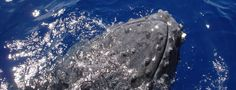 The Whalesong Project, a Corporation Whale Song, Projects, Animals, Log Projects, Blue Prints, Animales, Animaux, Animal Memes, Animal