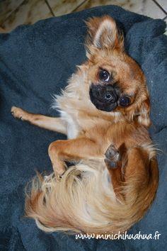 Chihuahua Harybo dans son panier ! :)