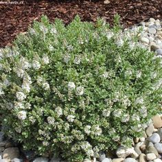 Hebe sutherlandii Gravel Garden, Garden Plants, Architectural Plants, Planting Shrubs, Ground Cover Plants, Family Garden, Boarders, South Park, Topiary