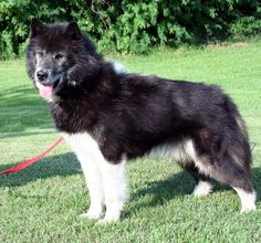 Dog Breeds List That Look Like Wolves (Wolf Dogs) - Animal Home Garden Rare Dog Breeds, Dog Breeds List, Canadian Eskimo, Caucasian Shepherd Dog, Saarloos, Snow Dogs, Fauna, Dogs And Puppies, Doggies