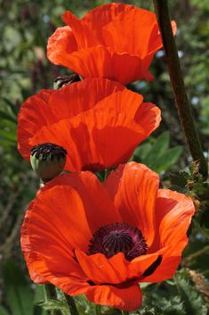 Trio of Poppies   Flickr - Photo Sharing!