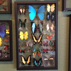 Talk about a statement piece! This collection will have you and your house guests gazing for days. Large collection of mounted butterflies in a double glass frame that measures approximately 20.5' x 1