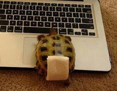Make a diaper for your tortoise to wear around the house. - Atta Boy! Animal Care #attaboyanimalcare www.attaboyanimalcare.com