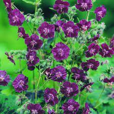 Image result for geraniums images