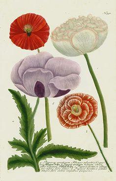 Johann Weinmann Peony, Poppy & Rose Prints 1739