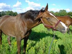 New Study to Investigate Headshaking in Horses