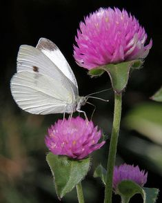 Cabbage White Butterfly With Pink Clover