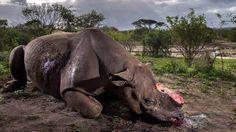 'Abalou minha fé na humanidade': foto de rinoceronte morto para roubo de chifre vence concurso