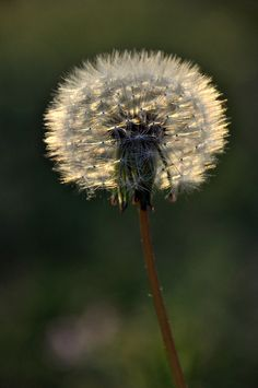 I remember... picking dandelion leaves and thistle for our rabbits...