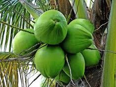 Scientific name for coconut is Cocos nucifera.It was called as 'Coco' by inhabitants. When 'coco' arrived in England, the Health And Fitness, Health Tips, Coconut Oil Cellulite, Coconut Water Benefits, Carrot Benefits, Water For Health, Bali, Weight Loss Water, Fruit Seeds