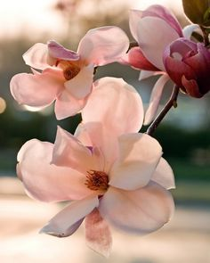 Magnolia sunset - The light of the setting sun filters through these Magnolia blossoms.
