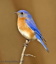 I love the cheerful sound of bluebirds