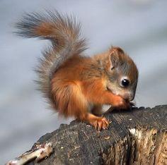 baby squirrel / bebe ecureuil