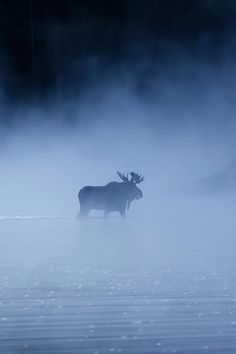 *Bull Moose Crossing the Snake River on a Misty Morning. (by Thomas Kanady) This is amazing! Moose Hunting, Bull Moose, Moose Art, Pheasant Hunting, Turkey Hunting, Archery Hunting, Beautiful Creatures, Animals Beautiful, Cute Animals