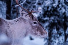 Reindeer Food - the NNAM way! How to make magic reindeer food that is eco-friendly and safe for wildlife and lots of fun! Magic Reindeer Food, Snow Forest, Tromso, What The World, Blog Voyage, Close Up Photos, Countries Of The World, Animal Photography, Bokeh Photography