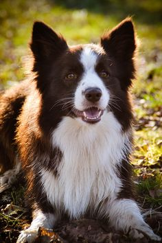 Border Collie; Great Pose. I am Guessing, The Color of This Border Collie Could Possibly be Dark Ginger.   (by yummy pets).
