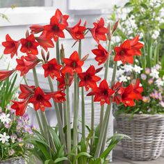 Hippeastrum Sonatini® Red Rascal at Wayside Gardens Planting Roses, Planting Bulbs, Garden Bulbs, Big Plants, Little Plants, Plant Growth, Plant Care, Types Of Flowers, Love Flowers