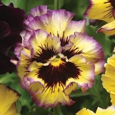 Fizzy Lemonberry Pansy Seeds (Viola x wittrockiana) Single Packet of 60 Seeds This seed packet measures wide by Exotic Flowers, My Flower, Pretty Flowers, Flower Power, Cactus Flower, Purple Flowers, Winter Pansies, Fotografia Macro, Images Google