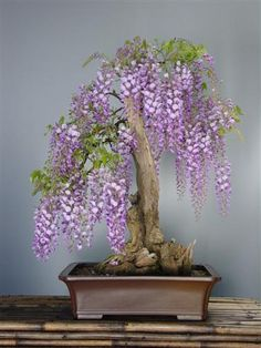 Wisteria Bonsai