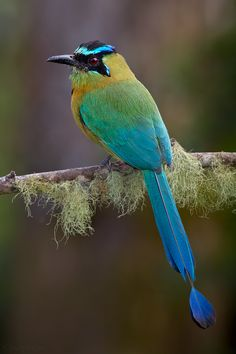 "Blue-crowned Motmot"" by Doug Brown"