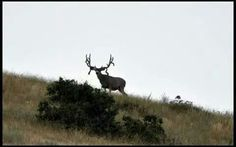 I would have thought that was a big bull elk if seen this one