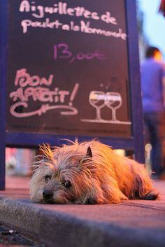 Le Conti in St. Germain Des Pres - this Cairn terrier is the owner's, and he hangs out at the bar all day.