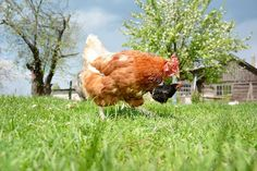 I'm thinking about building a chicken tractor I can put chicks in when they are too big for brooder yet to small to be put in with the flock. Diy Chicken Coop Plans, Backyard Chicken Coops, Building A Chicken Coop, Chickens Backyard, Chicken Tractors, Chicken Runs, Chicken Breeds, Raising Chickens, Keeping Chickens
