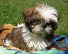 """See our website for more information on """"shih Tzu puppies"""". It is actually an excellent location to read more. Baby Shih Tzu, Shih Tzu Puppy, Pet Puppy, Dog Cat, Shitzu Puppies, Cute Puppies, Cute Dogs, Dogs And Puppies, Doggies"""