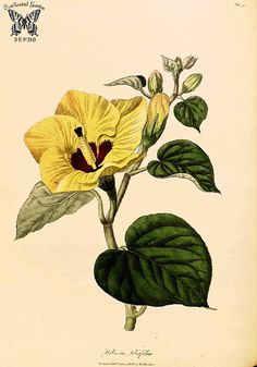 Hibiscus tiliaceus (as Hibiscus tiliifolius) Hooker, W., Salisbury, R., The paradisus Londinensis [W. Hibiscus Tree, Hibiscus Flowers, Yellow Flowers, Colour Yellow, Botanical Drawings, Botanical Illustration, Illustration Art, Vintage Flower Prints, Vintage Flowers