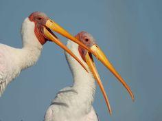 Okavango – drawing global birders - http://zambezitraveller.com/okavango/birding/okavango-–-drawing-global-birders ( Image credit - Pete Hancock)