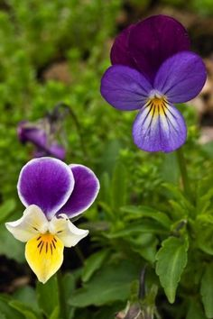 Just Seed British Wild Flower - Wild Pansy - Viola tricolour - 500 Seeds Just Seed http://www.amazon.co.uk/dp/B0084C85OY/ref=cm_sw_r_pi_dp_9M1qwb14994B6