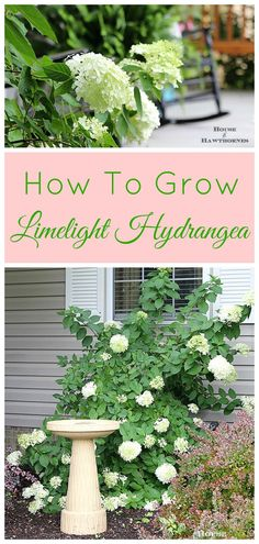A drought-tolerant hydrangea! How to grow and care for your Limelight Hydrangea. A beautiful deciduous shrub for your garden which is very forgiving and easy to grow. Garden Shrubs, Shade Garden, Lawn And Garden, Herb Garden, Big Garden, Flowering Shrubs, Fruit Garden, Limelight Hydrangea, Hydrangea Care