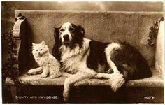 Border Collie Dog Pup Persian White Cat Kitten vintage old photo postcard English Shepherd, Shepherd Dogs, Dog Photos, Dog Pictures, Border Collie Art, Scotch Collie, Farm Dogs, Black And White Dog, Fluffy Dogs